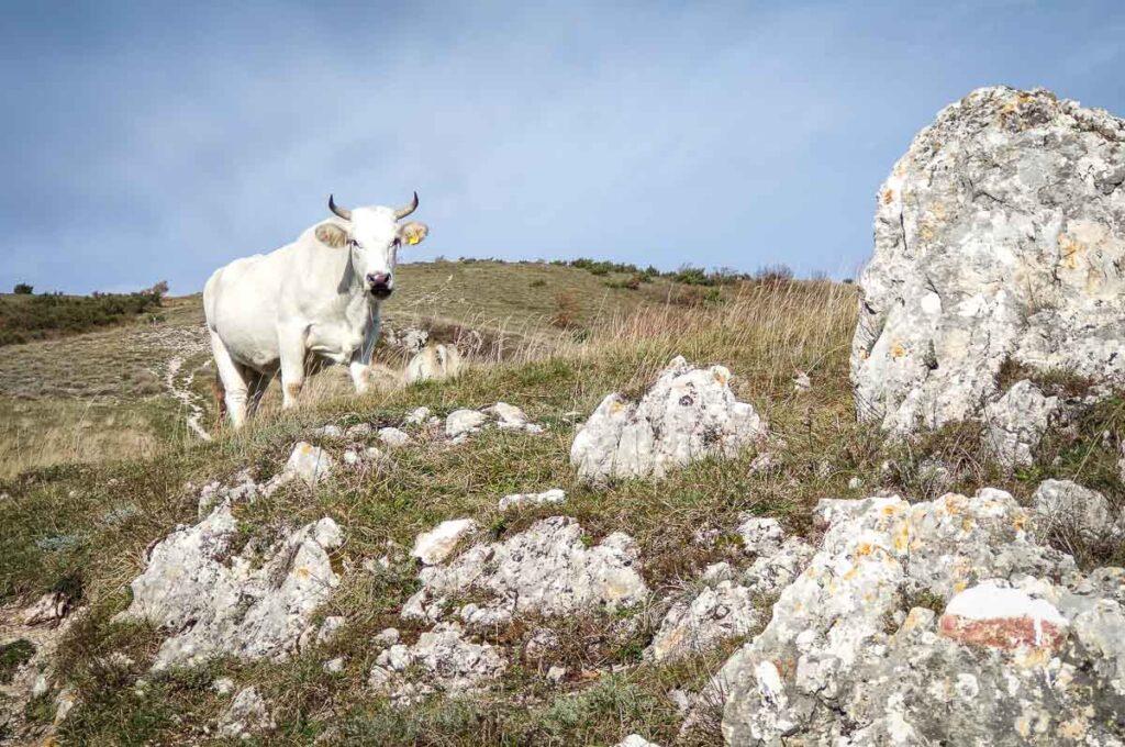 una mucca che pascola liberamente nei dintorni di Elcito